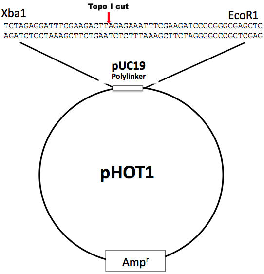 Supercoiled pHOT-1 DNA