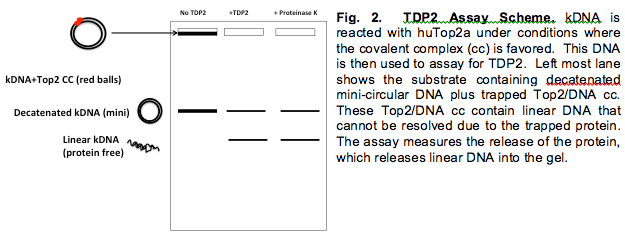 Tdp2 Assay Scheme