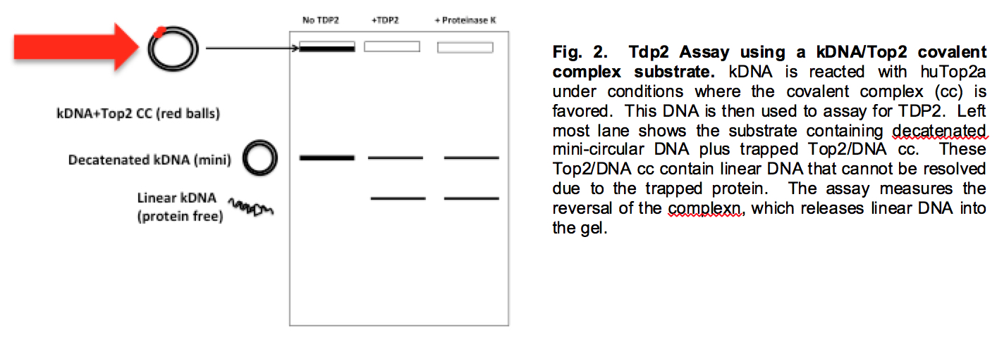 Tdp2 Assay using kDNA